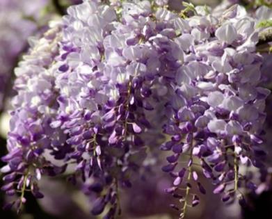 glicina de bonitas flores y aspecto elegante y señorial