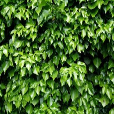 Planta trepadora ideal para jardin
