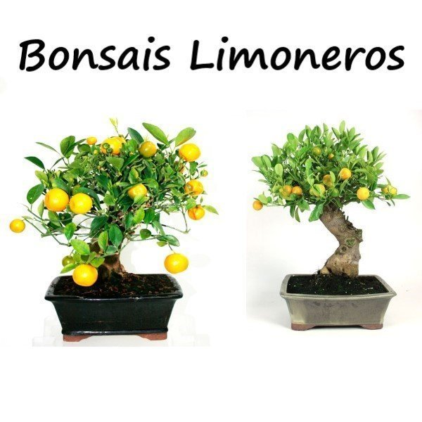 mini bonsai frutales