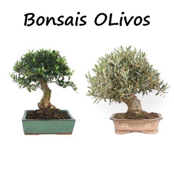 bonsai de olivo frutales