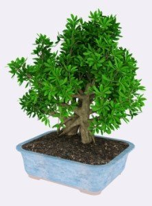 Como cuidar y comprar bonsái online de interior baratos a buen precio